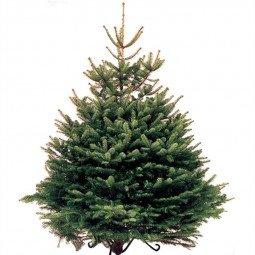 Picea Excelsa coupé  label rouge extra 150/175cm (hors bûche)