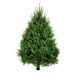 Picea Excelsa coupé  label rouge extra 175/200cm (hors bûche)