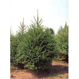 Picea Excelsa coupé  label rouge extra 200/250cm (hors bûche)