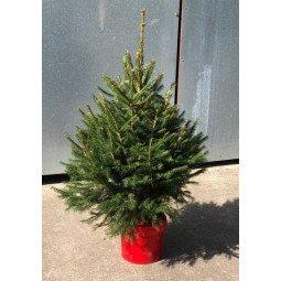 Picea Excelsa élevé en pot 80/100cm