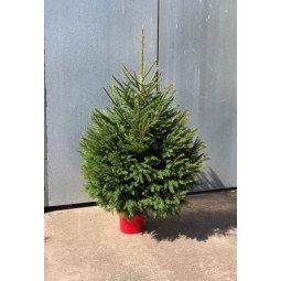 Picea Excelsa élevé en pot 100/125cm