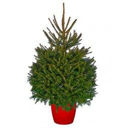 Picea Excelsa élevé en pot 125/150cm