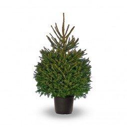 Picea Excelsa élevé en pot 150/175cm