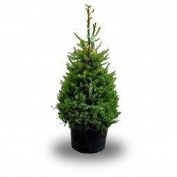 Picea Omorika élevé en pot 100/150cm