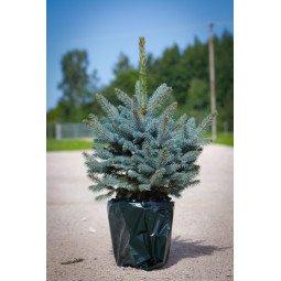 Picea Pungens élevé en pot 60/80cm