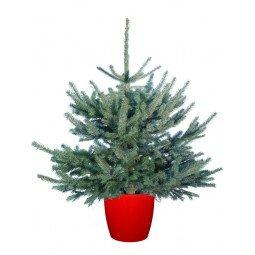 Picea pungens élevé en pot 80/100cm