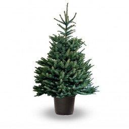 Picea pungens élevé en pot 125/150cm