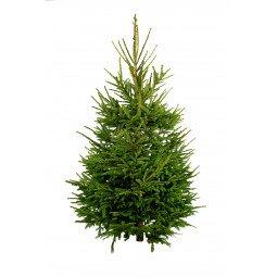 Picea Excelsa coupé 200/250cm (hors bûche)