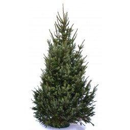 Picea Omorika coupé 175/200cm (hors bûche)