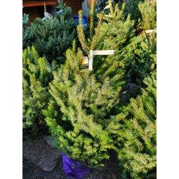 Picea Omorika élevé en pot 80/100cm